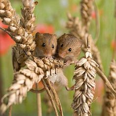 Country field mice                                                       …                                                                                                                                                                                 More