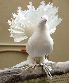 http://haben-sie-das-gewusst.blogspot.com/2012/08/bildnetwork-virales-social-media.html  English Fantail Pigeon