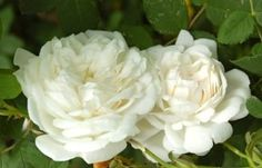 White flowers | Formal garden