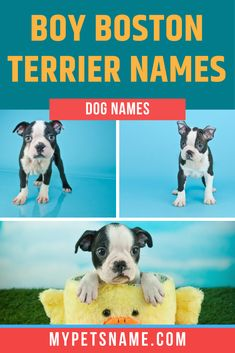 If a beautiful boy Boston Terrier has become the latest member of your family, and you are looking for the perfect name to highlight his amazing qualities, look no further than our vast list of over 300 boy Boston Terrier names!  #bostonterriernames #boybostonterriernames #namesforabostonterrier Good Boy Names, Boy Dog Names, Male Pet Names, Boston Terrior, Boston Terrier Names, Pepe Le Pew, Dog Owners, Crochet Stitches, Dog Love