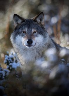 Watching me, watching you - The wolves of Langedrag....(Explored, my 100th)