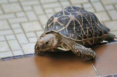 Star tortise: I kinda want one! Amphibians, Reptiles, Art Classroom, Classroom Ideas, Sulcata Tortoise, Russian Tortoise, Tortoise Turtle, Terrapin, Crazy Friends