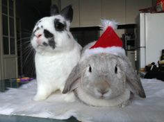 Diva bunny doesn't share the Santa hat - December 25, 2013 - More photos at the link: http://dailybunny.org/2013/12/25/diva-bunny-doesnt-share-the-santa-hat/ !