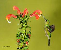 Green Crowned Billiant by Judylynn Malloch on 500px