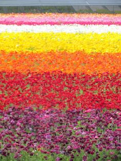 Carlsbad Flower Fields in #Flower Fields