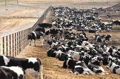 Uma mudança global para uma dieta vegana é vital para salvar o mundo da fome, da escassez de combustíveis e dos piores impactos das mudanças climáticas, afirmou hoje um relatório da ONU.