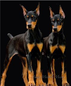 Anna Michele Mccue The Girls #Dobermanpinscher #Doberman #puppies