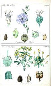 Botanical - Educational plate - Ladies botany 14