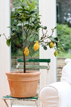 lemon tree potted and kept indoors