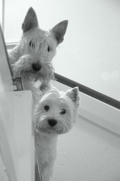 A perfect example of a Wheaton Scottie and a Westie.
