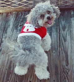 Dress your little doggy for the holiday season in this adorable Red Rudolph small dog sweater. This warm and toasty sweater is made from durable acrylic. Small Dog Sweaters, Small Dog Clothes, Dog Pajamas, Holiday Sweater, Little Dogs, Christmas Traditions, Dog Toys, Small Dogs, Christmas Fun