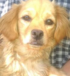 Selena is an adoptable Cocker Spaniel Dog in Redondo Beach, CA. I am a 1 year old Cocker Spaniel mix. I am a very loving, sweet and calm girl. I get along with other dogs, cats and kids....
