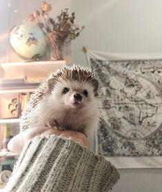 Happy Hedgehog, Pygmy Hedgehog, Hedgehogs, Creative Kids, Cute Animals, Creativity, Funny, Baby Pets, Fluffy Animals