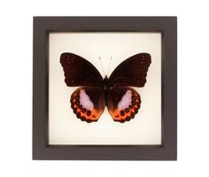 """COMMON NAME:Eggfly Butterfly SPECIES:Hypolimnas pandarus LOCALITY: Asia FRAME SIZE: 6"""" x 6"""" x 1.25"""" FRAME COLOR: pick from BLACK, WHITE, OR DARK WALNUT. MUSEUM QUALITY SHADOWBOX: UV blocking conservation glass, gallery style frames, archival papers. Also comes with interesting natural history information about species and 6x6 frame sizes include gift box.  See why our insect frames are the TOP CHOICEof interior designers, museums and customers."""