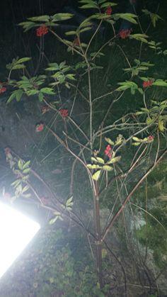 Pihlaja (Sorbus aucuparia)20.9 Sekametsä