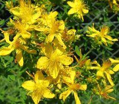 ľubovník bodkovaný - Hľadať Googlom Healthy Detox, Herbs, Plants, Herb, Flora, Plant, Planting