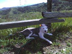 Bella-Staffordshire Terrier. my girl.