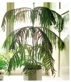 Exceptional Norfolk Pine Care Indoors: Tips For Care Of A Norfolk Island Pine Plant |  Houseplant, Houseplants And Pine Tree