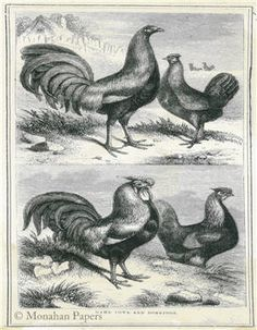 Game Fowls and Dorkings - SPS148-