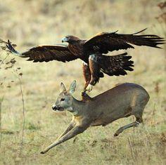 An eagle hunting a deer