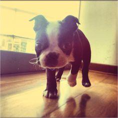 Boston terrier Boston terrier #Ramon