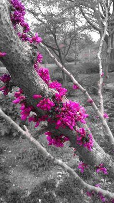 ☛All Things Color Splash☚ Splash Photography, Color Photography, Black And White Photography, Black And White Colour, Black And White Pictures, Pink Color, Color Pop, Color Splash Photo, Fuchsia