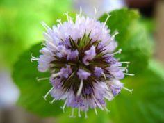 Mes Créations - Fleur de Menthe Poivrée