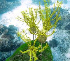 Caryocrinites Ornatus Grouping
