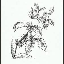 Image result for coffee plant tattoo
