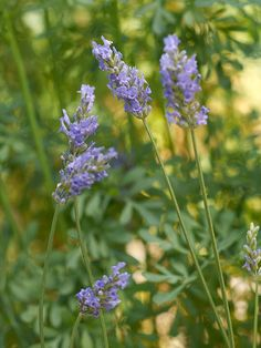 A tender shrub usually grown as an annual, fernleaf lavender features narrow spikes of fragrant blue-purple flowers in summer. Its lobed silvery-green leaves give it a delicate, lacy appearance. Name: Lavandula multifida Size: To 36 inches tall and wide Zones: 9-11