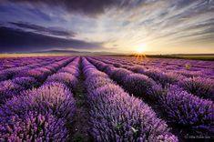 Delightful Lavender Fields – United