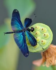 blue dragonfly on lotus pod