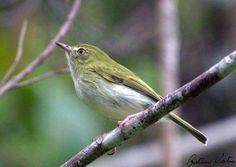 Tachuri-campainha (Hemitriccus nidipendulus)