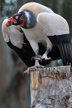 Dean Hueber King Vulture