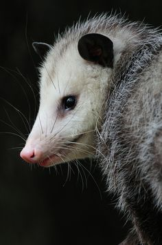 """Rapunzel"" opossum ...  opossums are creatures with which you can probably live and let live—they come out after dark, so you may never see them, and they'll run from you if you do; they eat pests; and they don't carry rabies."