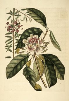 Rhododendron maximum L. Great Laurel, Rosebay Rhododendron Catesby Appendix plate 17