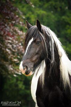 Draft Horses, Horse Photography, Horse Head, Pet Health, Cob, Beautiful Horses, Cat Art, Canvas, Pets