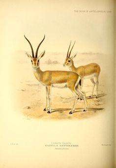 Gazella leptoceros