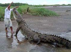 Impresionante cocodrilo