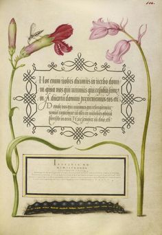 [folio 104r]  Joris Hoefnagel (illuminator) [Flemish / Hungarian, 1542 - 1600], and Georg Bocskay (scribe) [Hungarian, died 1575], Insect, Carnation, Bluebell, and Caterpillar, Flemish and Hungarian, 1561 - 1562; illumination added 1591 - 1596, Watercolors, gold and silver paint, and ink on parchment, Leaf: 16.6 x 12.4 cm (6 9/16 x 4 7/8 in.), 86.MV.527.104.