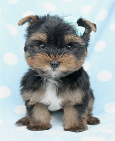 Yorkie Puppy For Sale by TeaCups Puppies and Boutique