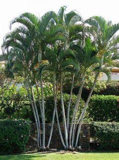 Areca palm trees | Etsy Tropical Pool Landscaping, Palm Trees Landscaping, Florida Landscaping, Landscaping Ideas, Palm Garden, Garden Trees, Backyard Trees, Backyard Patio, Pool Plants