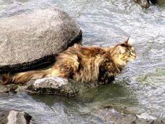 Who said cats don't like water?