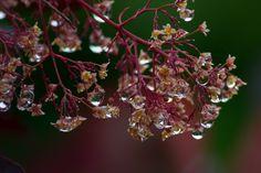 Blütenstände des Roten Perückenstrauches von Blende_65