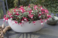 #bella #fuchsia #evita #garden #plants