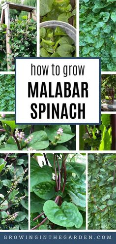 Looking for a summer spinach alternative? Learn how to grow Malabar spinach – a fast-growing, heat-loving, beautiful vine with large, glossy, succulent-like leaves. Unlike traditional spinach that grows through the cooler months of the year, Malabar spinach is planted in the spring and harvested through the fall. #summerspinach #malabarspinach #heatloving #superfood