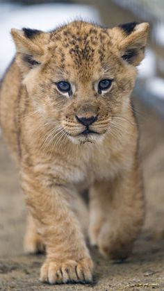 https://flic.kr/p/D6MYDL | Cleo walking towards me | Cleo, the baby lioness walking towards me. What a cutie!