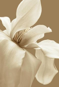 Jennie Marie Schell - Art - Fotografie - Magnolia Photograph – Magnolia Flower Sepia In Five by Jennie Marie Schell - Cream Aesthetic, Flower Aesthetic, Photo Deco, Magnolia Flower, Photo Backgrounds, Color Inspiration, Aesthetic Wallpapers, Beautiful Flowers, Hello Beautiful