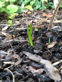 """...worum denkst du handelt es sich hierbei? Richtig, natürlich um kleine """"Pälmchen"""". Ich hatte hier ein paar Samen der Trachycarpus fortunei im letzten #Winter in die Erde gesteckt und siehe da, ein paar #Monate später entwickeln sich tatsächlich die ersten kleinen Pflänzchen. Natürlich dauert es ein paar Jahre, bis sich hieraus echte und ansehnliche Palmen entwickeln, aber die ersten #Entwicklungsschritte kommen schneller als man meint. Die #Hanfpalme wächst.... Beef, Food, Palm Tree Types, Couple, Seeds, Plants, Meat, Essen, Meals"""
