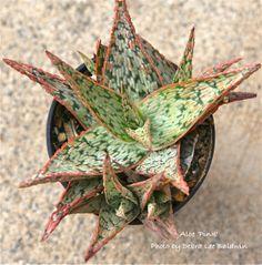 Aloe 'Pink'